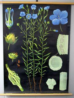 Vintage Jung - Koch - Quentell Flax Biology Classroom Wall Chart.
