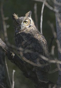 Great Horned Owl  (Bubo virginianus) - by Stephen Barnard