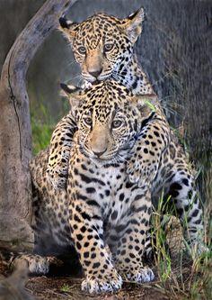 ~~Sibling superstars ~ jaguar cubs~~ omg, this is sooooooooooo incredible!!!