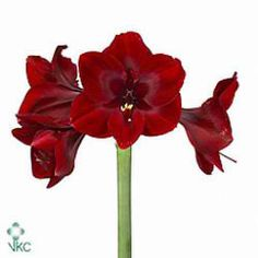Buy fresh cut Red HIPPEASTRUM BRITNEY Amaryllis at wholesale prices for delivery direct to any UK address -wholesaled in Batches of 15 stems. Festival Decorations, Christmas Decorations, Florist Supplies, Gothic Wedding, Macro Photography, Fresh Flowers, Artificial Flowers, Decorating Your Home, Christmas Time