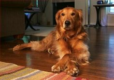 Golden Retriever - Breed Profile:    Origin: Scotland  Colors: Shades of golden  Size:  Type of Owner: Novice  Exercise: Regular  Grooming: Regular  Trainability: Easy to train  Combativeness: Friendly with other dogs  Dominance: Moderate  Noise: Average barker