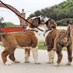 Alabai Dog, Akita Dog, Cane Corso, Hunting Dogs, Working Dogs, Shepherd Dog, Beautiful Dogs, Beautiful Creatures, Animals And Pets