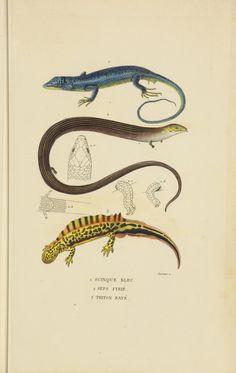Dictionnaire classique des sciences naturelles :. Brussels :Meline, Cans et Ce.,1853.. biodiversitylibrary.org/page/42266295