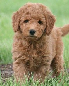 Goldendoodle. A Golden Retriever with curly hair and no shedding. Perfection!: