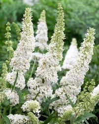Image result for Buddleia White Profusion