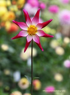 ~~You Are So Beautiful To Me • Dahlia 'Amy's Star' by theresa helmer~~