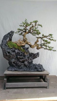 Beautiful arrangement...the bonsai clings so strongly, yet appears precariously on the edge of the rock.  I can imagine a lava cliff, where such flora grow, stunted from blowing winds.