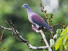 Pale-vented Pigeon (Patagioenas cayennensis) by Nick_Athanas