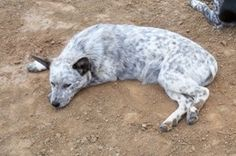 A White Blue Queensland Heelers