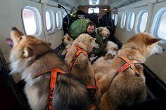 グリーンランド北部沿岸の遠隔地へ飛行機で移動する犬ぞり隊。北基地のトロールス・グルド隊員が、犬たちが暴れたりしないよう、中心に座ってリーダー犬の代わりに群れをまとめる。