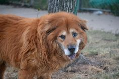 SAFE 10-5-2015 by Pet Adoption League of NY --- SUPER URGENT Staten island Center LOK LOK – A1052747  MALE, BROWN / WHITE, CHOW CHOW MIX, 11 yrs OWNER SUR – EVALUATE, NO HOLD Reason NO TIME Intake condition EXAM REQ Intake Date 09/25/2015