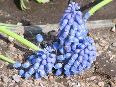 by Heli Aarniranta on ARTwanted Annual Plants, Finland, Planting Flowers, Blueberry, Flora, Herbs, Fruit, Berry, Plants