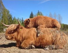 Adorable Highland Cattle Calves Are the World's Cuddliest Little Cows : If You Ever Feel Sad, These 13 Highland Cattle Calves Will Make You Smile Cute Baby Cow, Baby Cows, Cute Cows, Baby Elephants, Fluffy Cows, Fluffy Animals, Cute Little Animals, Cute Funny Animals, Farm Animals
