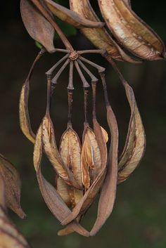 -White Oak Tree of Fire pod