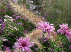 Michelmas Daisy or Auntumn Astors with grass
