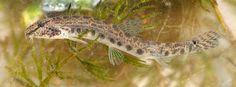 Cobitis taenia - Spined Loach Marine Fish, Fresh Water, Animals, Animales, Animaux, Animal, Animais