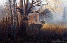 In Don Kloetzke's print HOMESTEAD BUCK a whitetail deer buck cautiously leaves the woods near an old farmstead as the fog begins to lift. Bucks tend to favor dense cover for hiding purposes and have e