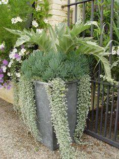 gray container planting-dichondra, cardoon,chalk sticks
