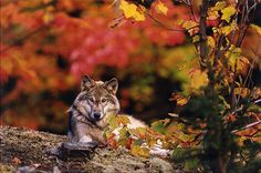 Wolf  in the Autumn