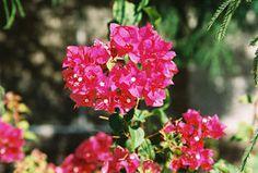 Arizona Gardeners: Understanding the popular, low-water-use bougainvillea