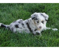 Ahhh, I need this puppy! Love me a border-aussie
