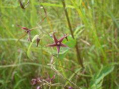 Kobano-kamome-zuru (japanese name) /   Vincetoxicum sublanceolatum(scientific name)