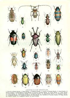 Beetles 1954 vintage print Australian by VintageInclination
