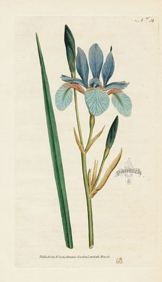 Iris sibirica. Siberian Iris. from William Curtis Botanical Magazine 1st Edition Prints Vol 1-6 1787