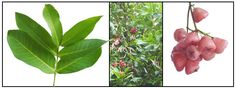 All about Malay apple / Mountain apple/ Water apple Apple Water, Apple Roses, Medicinal Plants, Herbal Medicine, Health Diet, Botany, Health Benefits, Herbalism, Plant Leaves