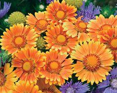 blanket flower, 'Oranges & Lemons'