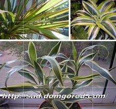 Тропическое декоративное растение Драцена