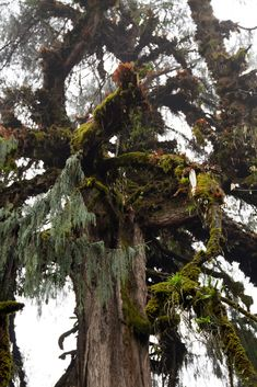 Cypress with lichen and moss, a study in forest greens
