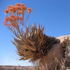 Aloe hereroensis, showing inflorescence with branched peduncle - Auob Rivier, Namibia Agaves, Tiny Flowers, Beautiful Flowers, Alpine Plants, Desert Plants, Cactus Y Suculentas, Exotic Plants, Cacti And Succulents, Garden Inspiration