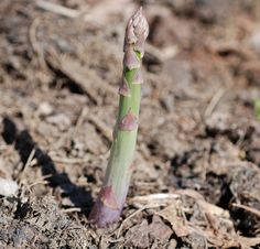 Planting Asparagus from Crowns--planting an asparagus bed may well be the smartest thing you do this year. Tthink about it: how many things can you plant in your vegetable garden that will allow for harvests over 20 years or more?
