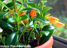 goldfish plant | home | Pinterest