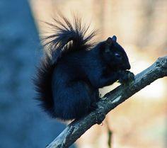 Black Squirrel. Melanism.