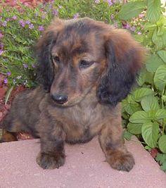 Weatherly's Miniature Cream Dachshunds #dachshund