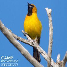 Los luisitos en @mayakoba se ven hermosos con su asombrante plumaje en primavera! #CAMPmayakoba #observacióndeaves #primavera #fotografía #naturaleza #vidasilvestre #conservación #aves