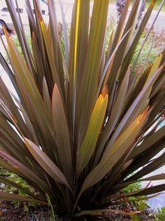 phormium, new zealand flax ornamental grass - Photo &copy Lisa Hallett Taylor