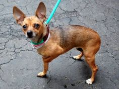 SAFE 1/26/15 --- SUPER URGENT - 01/22/15 Manhattan Center *  My name is MIA. My Animal ID # is A1025676. I am a female tan and black chihuahua sh mix. The shelter thinks I am about 6 YEARS old.  I came in the shelter as a OWNER SUR on 01/17/2015 from NY 10468, owner surrender reason stated was MOVE2PRIVA. .  Main thread: https://www.facebook.com/photo.php?fbid=948038328542380