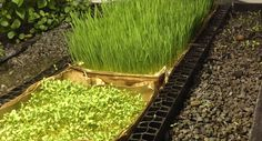 Grow Microgreens and Wheatgrass in Soilless Aquaponics