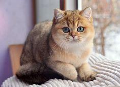 кошка, золотая шиншилла