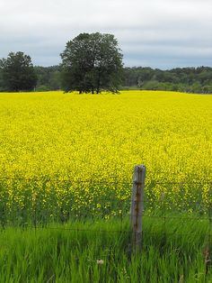 JUST PLAIN COUNTRY CHARM <3  Take a walk through a field of yellow. ~ღ~*~*✿⊱╮