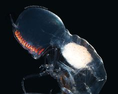Tiny and transparent the marine crustacean Paraphronima gracilis sees the world through two large eyes that envelope its head like a high-tech space helmet. Now, …
