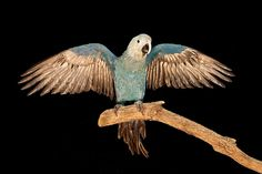 "Spix's macaw  Although 71 Spix's macaws exist in captivity, the last known bird in the wild disappeared in 2000 and no others are known to remain. The species is currently listed as ""critically endangered"" instead of ""extinct in the wild"" because not all areas of potential habitat have been thoroughly surveyed. The bird is native to northern Brazil and in 1987 the three known remaining birds were captured for trade. However, a single male bird was discovered in 1990"