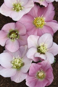 Hybrid Lenten Rose - Helleborus x hybridus PDN Pink.  We've just added new plants to the website that are now in full flower here at PDN. Many are in limited supply, so don't delay. You will find the new items listed under the March 3 tab at http://www.plantdelights.com/2014/Best-New-Perennials/Mail-Order-Perennials