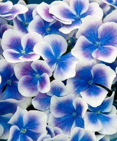 Ortensia bicolore Tivoli