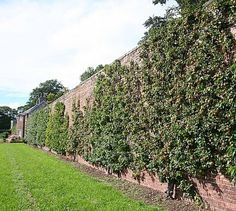 "A ""Fruit Wall"" in the UK —  From the sixteenth to the twentieth century, urban farmers grew Mediterranean fruits and vegetables as far north as England and the Netherlands, using only renewable energy and espalier techniques."