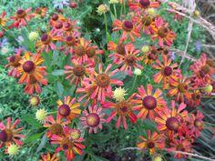 *NEW* hybrid Helenium 'Salsa' bi-colour dwarf form masses summer/autumn HP1L pot