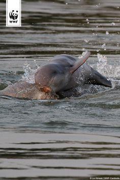 Sensationelle Entdeckung 🐬  Nachwuchs bei den stark bedrohten Flussdelfinen im Mekong. Ein großes Glück für die äußerst bedrohte Art, denn sie kalben nur alle zwei bis drei Jahre. Weltweit gibt es nur noch 80 Exemplare ➤➤➤ http://www.wwf.de/bild-des-tages/nummer-81-lebt/
